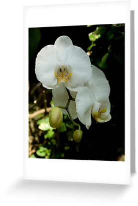 White Orchid by G. Patrick Colvin