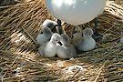 Baby swans In Mum's shade by David Carton