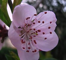 Peach blossoms by rasim1