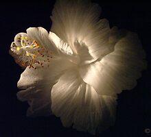 White Hibiscus by Jodyb