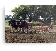 Four Clydesdales harrowing the field - Churchill Island, Easter 2010 Metal Print