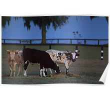Cows Evening Glory Poster