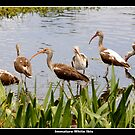 Immature white ibises by Bigart32