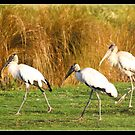 Wood storks by Bigart32