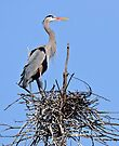 Blue Heron on Nest - Kempville Ontario by Michael Cummings