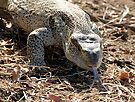 African Rock Monitor by Michael  Moss
