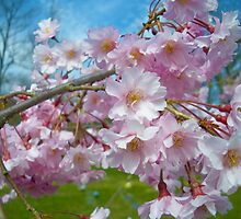 Blossoms by Denise Sparks