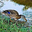 Quack - 1 by Eric Scott Birdwhistell