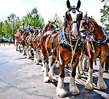 The Budweiser Clydesdales by Eric Scott Birdwhistell