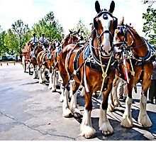 The Budweiser Clydesdales Photographic Print