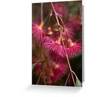Eucalyptus Blossoms Greeting Card