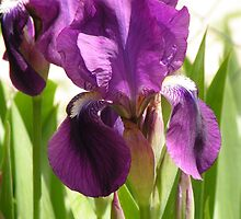 The before image of Green Earth Iris by Winona Sharp