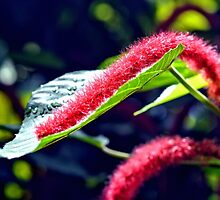 Red Cat Tail Plant by Amy McDaniel