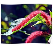 Red Cat Tail Plant Poster