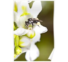 Native Stingless Bee Poster