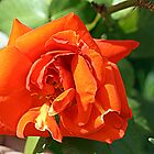 Orange Rose by TeAnne