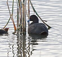 Eurasian Coot and Chick by Chris Cobern