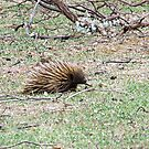 Echidna Walking by Rick Playle