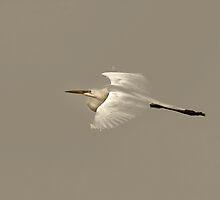 Elusive Giant Egret by Deborah  Benoit