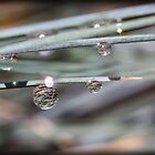Dew Drop by tracyleephoto