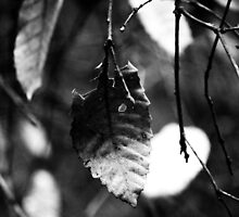 Lonely leaf - Muir Woods, San Francisco by MissTenille