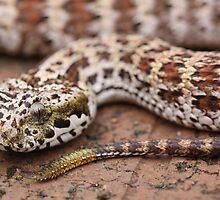 Djarra Death Adder by Steve Bullock