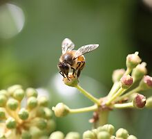 Buzz by tracyleephoto