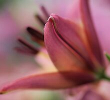 Bokeh Lily by tvlgoddess