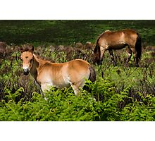 Exmoor foal and mare Photographic Print