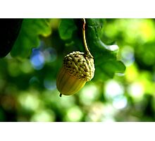 From little acorns grow mighty oaks Photographic Print