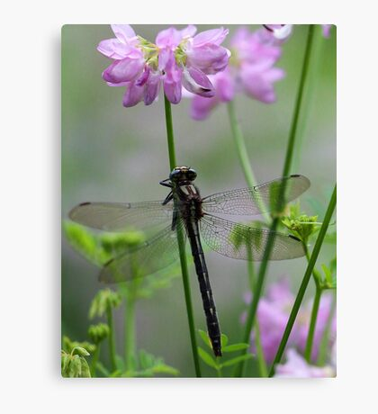 Black Dragonfly and Crown Vetch Canvas Print