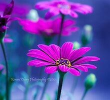 Purple Daisies by ghopper99