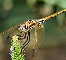 RED-VEINED DROPWING - Family Libellulidae dragon fly by Magaret Meintjes