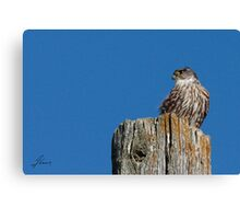 Roadside Merlin Canvas Print