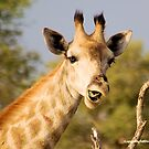GIRAFFE – Giraffa camelopardalis - This......?  No...  it was from the previous acacia by Magaret Meintjes