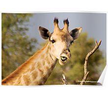 GIRAFFE – Giraffa camelopardalis - This......?  No...  it was from the previous acacia Poster