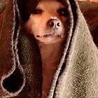Master Obi-Wan Kenobi Chihuahua  by Susan Bergstrom
