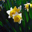 Daffodil by Lisa Brower