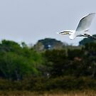 St.Augustine Egret in Flight by Scott Englund
