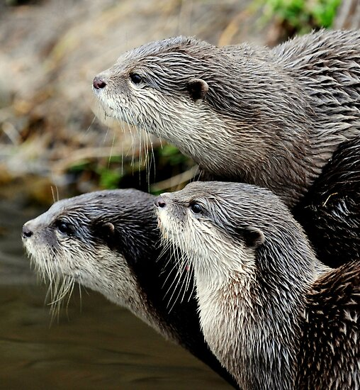 The otter trio by Alan Mattison