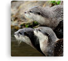 The otter trio Canvas Print