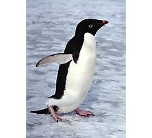 Adelie Penguin Walking on the Fast Ice Photographic Print