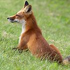 Fox  by Gary Fairhead