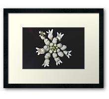 Conospermum taxifolium Framed Print