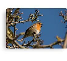 Robin singing for spring Canvas Print