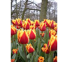 Spring tulips - Keukenhof Holland Photographic Print