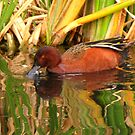 Cinnamon Teal ~ Male by Kimberly Chadwick