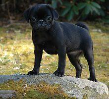 Xena the Warrior Pug by christiane
