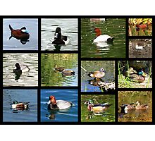 Migrating & Resident Ducks of Southwest Arizona ~ Poster Photographic Print