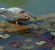 Green Heron by Angela Pritchard